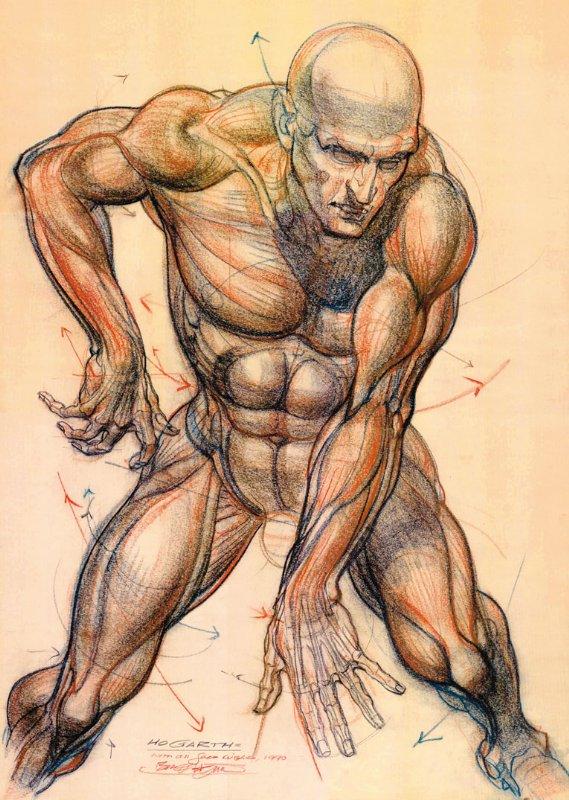Burne Hogarth Anatomy Study In Werner Rosenauers Hogarth Burne